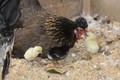 ニワトリの雛が孵りました♪♪